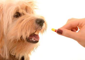 Veterinarian give pill